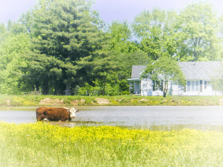 Cow cools herself in the pond on a hot summer day. Stock Photo