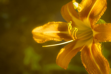 Orange day lily flower closeup Stock Photo