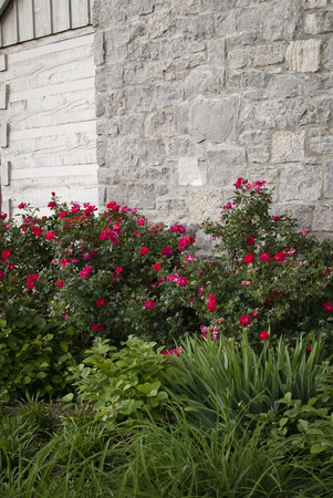 Pink roses brighten a gray stone wall. Stock Photo