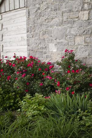 Roze rozen fleuren een grijze stenen muur op.