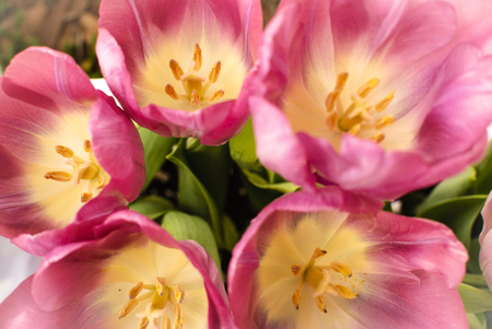Pink tulips brighten the spring garden Stock Photo