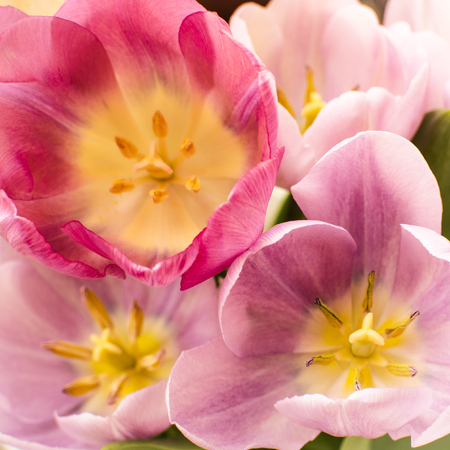Pink tulips brighten the spring garden Stock Photo