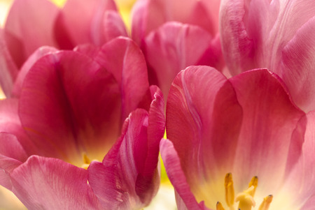 Pink tulips brighten the spring garden Stok Fotoğraf