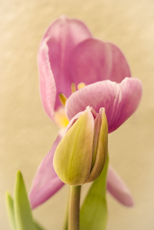 Pink tulip with bud Stock Photo