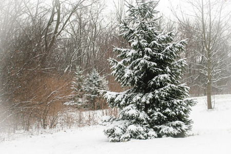 Evergreen trees in winter snow