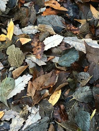 Fallen autumn leaves. Stock Photo