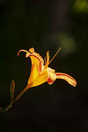 Bright orange day lily glows in the sunlight. Stock Photo
