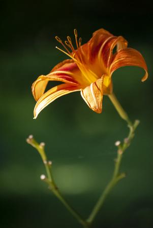 Bright orange day lily