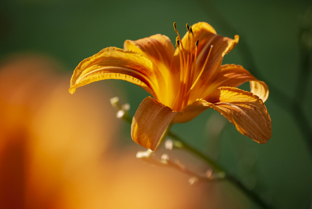 Bright orange day lily with shallow depth of field