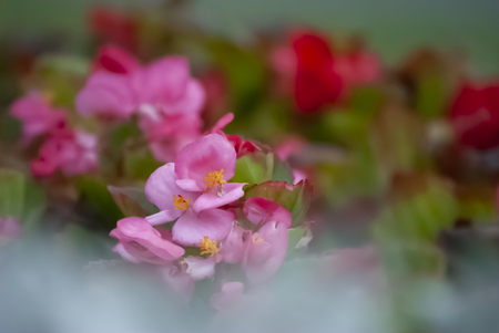 Beautiful pink begonias with shallow depth of field