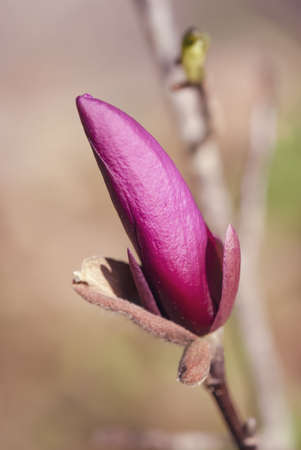 Magnolia flower bud ready to open.