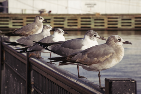 A row of seagulls perched on a rail at the pier.