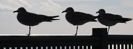 Three seagulls perched on a rail in silhouette.