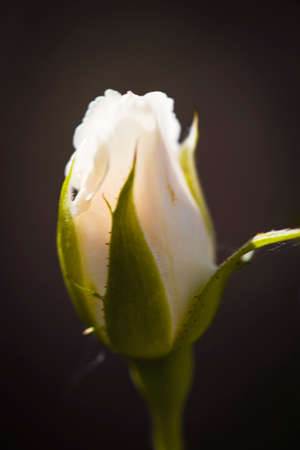 White rose bud on dark background