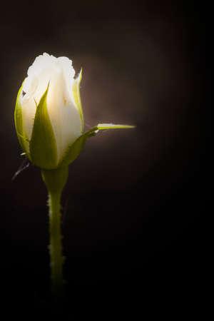 White rose bud on black background Stock Photo