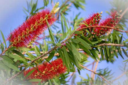 Flowers of bottle brush tree