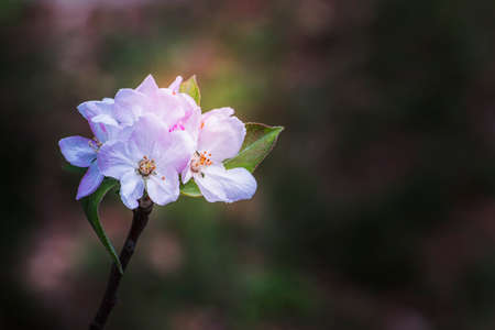 Pink apple blossoms in a ray of morning sunlight.