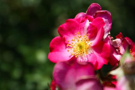 wild  rose: Particolare di una rosa selvatica Archivio Fotografico