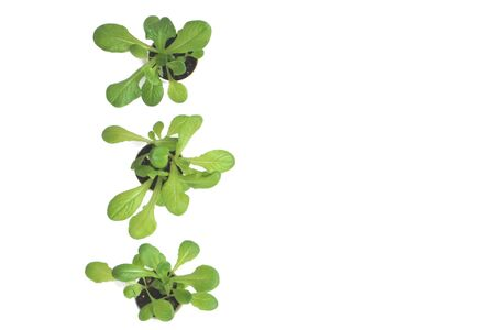 Three baby home-grown indoors giant caesar lettuce in white plastic cup with visible soil, placed on the left of the frame, shot from above with white background and space for copy text.