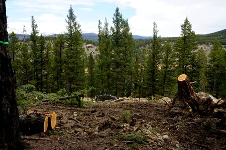 Forest land cleared of pine trees, showing freshly cut trunks, for new residential construction in the Colorado mountains.