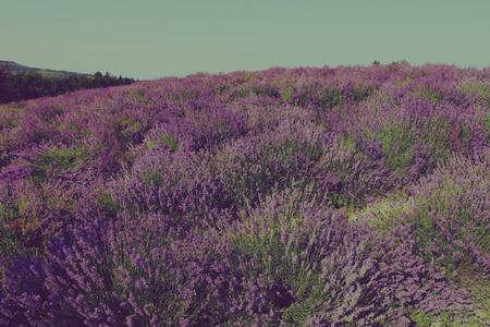 Lavender field in Sale San Giovanni, Cuneo area, Piedmont, Italy