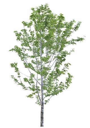 salix fragilis: tree isolated on white background