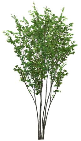salix fragilis: small tall tree isolated on white background