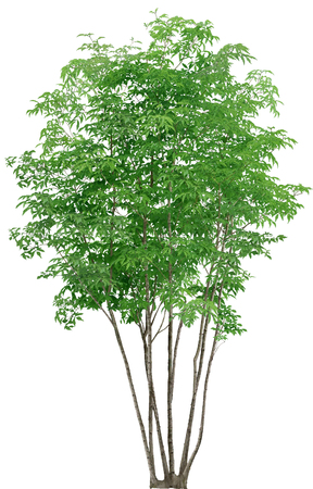 small tall tree isolated on white background