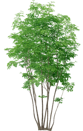 broadleaved tree: small tall tree isolated on white background