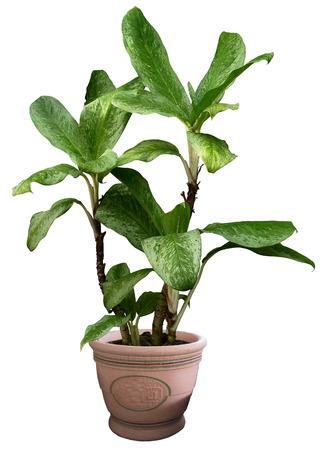 whitebackground: Small tree in pot isolated on whitebackground