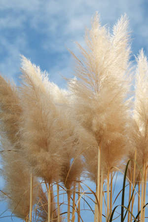 Pampas in the foreground, the sky in the background photo