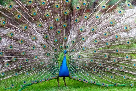 peacock wheel: a peacock shows his big wheel Stock Photo