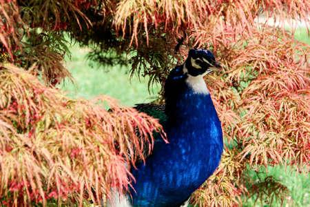 peacock wheel: un pavone � nascosto dietro le foglie