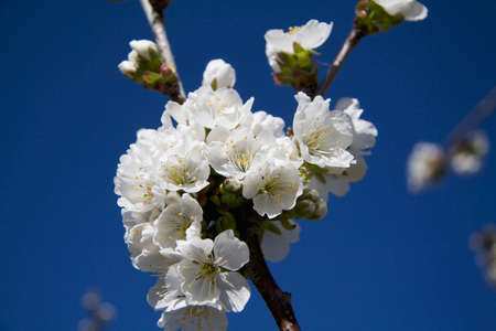 first floor of a cherry blossom branch and its Stock Photo - 13082261