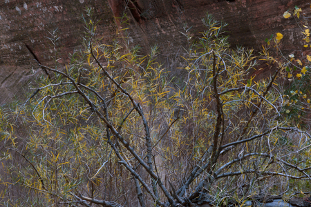 Flora on the Middle Fork of Taylor Creek Trail, Zion National Park, Utah 写真素材 - 107914741