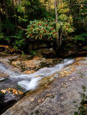 Mountain ash berries, Carter-Moriah Range, New Hampshire Stok Fotoğraf