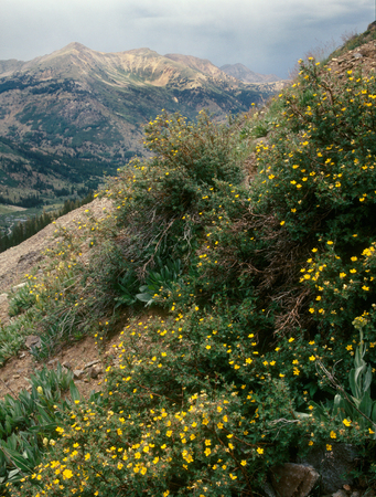 Wildflowers above Apostle Basin, Collegiate Peaks Wilderness, Colorado Stock Photo