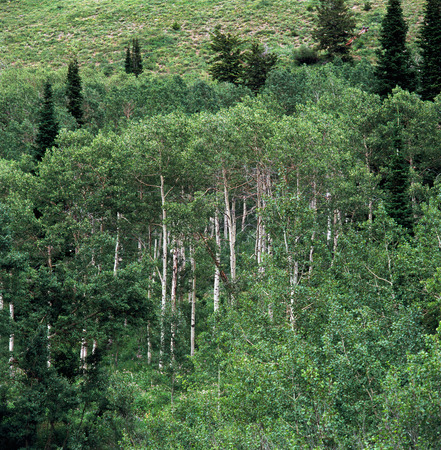 Aspens in summer green, Caribou-Targhee National Forest, Wyoming