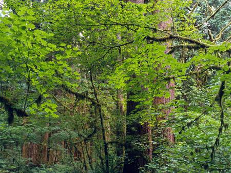 Old growth forest in Rockport State Park, North Cascades Range, Washington