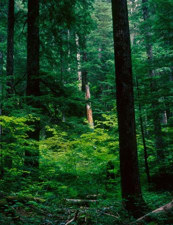 Grove of the Patriarchs, Mount Rainier National Park, Washington