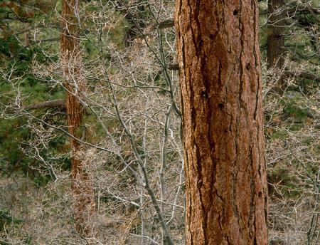 Ponderosa pine on the North Shore Trail, San Bernardino Range, California