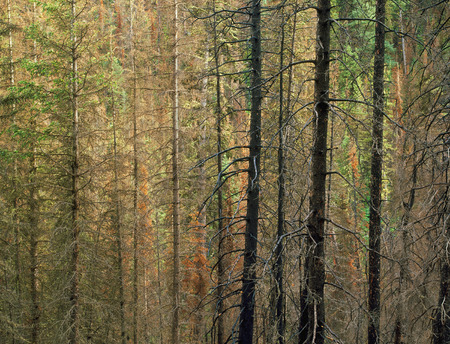 Mixed forest in the Beartooth-Absaroka Wilderness, Montana