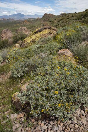 Brittlebush flowers along the Treasure Loop Trail, Lost Dutchman State Park, Arizona Фото со стока