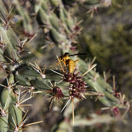 Yellow Wasp on Cholla Cactus, Second Water Trail, Superstition Mountains, Arizona