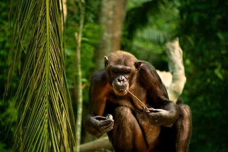 humourous: hungry chimpanzee eating in the zoo day Stock Photo