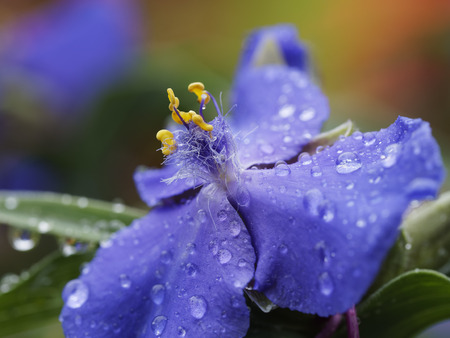 morning dew on widows golden tears concord grape spiderwort
