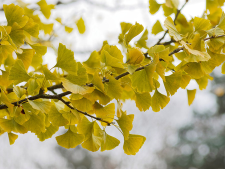 autumn scenery. leaves of ginkgo with fall colors Stock fotó