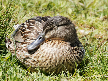 a mallard take a nap on the grass