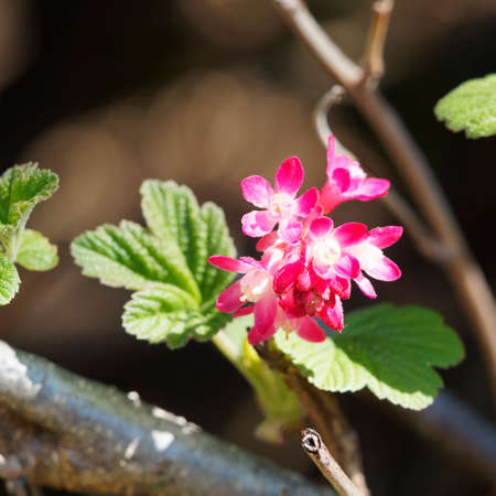 Red-flowering currant or Ribes sanguineum with lobed leaves and hanging clusters of deep red-pink flowers in early spring Stock Photo