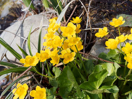 Caltha palustris   Tuft of marsh populations or water marigolds in a humid environment with bright golden yellow bloom